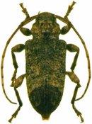 Leptostylopsis poeyi, ♀, Acanthocinini, Hispaniola