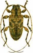 Leptostylopsis perfasciatus, ♂, Acanthocinini, Hispaniola