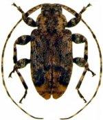 Leptostylus nigritus ♂, Acanthocinini, Cuba