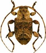Leptostylus plautus ♂, Acanthocinini, French Guiana