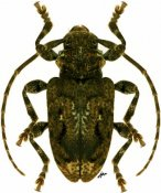 Plistonax difficilis, ♂, Acanthoderini, Paraguay