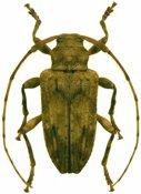 Nealcidion socium ♀, Acanthocinini, Martinique