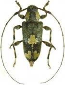 Neoeutrypanus nobilis, ♀, Acanthocinini, French Guiana
