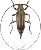 Nyssodrysternum flavolineatum, ♀, Acanthocinini, French Guiana