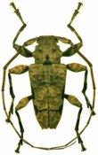 Oreodera glauca glauca ♂, Acanthoderini, French Guiana