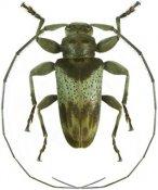 Oreodera griseozonata ♂, Acanthoderini, French Guiana