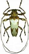 Oreodera jacquieri, ♂, Acrocinini, French Guiana