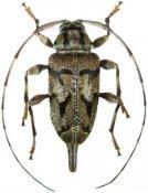 Oxathres ornata, ♀, Acanthocinini, French Guiana