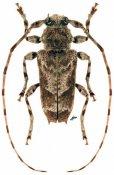 Spinozotroctes seraisorum, ♂, Acanthoderini, French Guiana