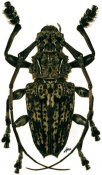 Steirastoma breve ♂, Acanthoderini, French Guiana
