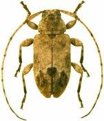 Styloleptus sp., ♂, Acanthocinini, Cuba