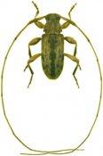 Urgleptes sp., ♂, Acanthocinini, Cuba