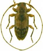 Urgleptes cobbeni, ♂, Acanthocinini, Guadeloupe