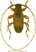 Urgleptes guadeloupensis, ♂, Acanthocinini, Martinique