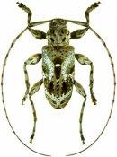 Xylergates elaineae, ♂, Acanthocinini, French Guiana