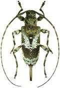 Xylergates pulcher, ♀, Acanthocinini, French Guiana