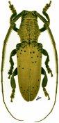 Helvina uncinata, ♂, Agapanthiini, French Guiana
