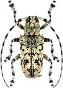 Ancylonotus tribulus hieroglyphicus, ♀, Ancylonotini, Madagascar