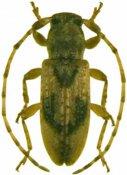 Apomecynini • Acrepidopterum pilosum