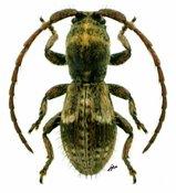 Assinia inermis, ♂, Apomecynini, Kenya