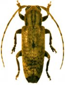 Bisaltes buquetii, ♀, Apomecynini, French Guiana