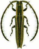 Dorcasta dasycera ♂, Apomecynini, French Guiana