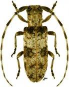 Eunidia plagiata ♀, Eunidiini, Zimbabwe