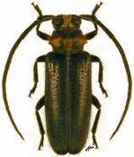 Hastatis sp., ♀, Calliini, French Guiana