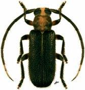 Callia ♂, Calliini, French Guiana