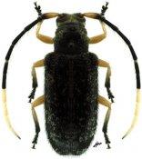 Canindea signaticornis ♀, Calliini, French Guiana