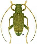Igualda posticalis, ♂, Calliini, French Guiana
