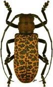 Paranaleptes reticulata, ♀, Ceroplesini, Somalia