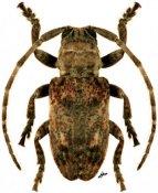 Crossotus sp., ♂, Crossotini, Djibouti