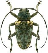 Frea flavoscapulata, ♂, Crossotini, Kenya