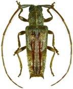Blabia similis, ♂, Desmiphorini, French Guiana