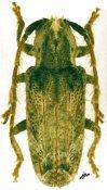 Desmiphora (Desmiphora) sp., ♀, Desmiphorini, Bolivia