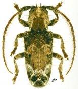 Desmiphora cirrosa, ♂, Desmiphorini, French Guiana