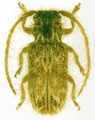 Desmiphora longipilis, ♀, Desmiphorini, Cuba