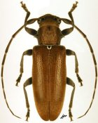 Estoloides alboscutellaris, ♀, Desmiphorini, French Guiana