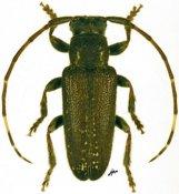 Estola albovaria, ♂, Desmiphorini, French Guiana