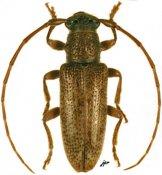 Estoloides annulicornis, ♂, Desmiphorini, French Guiana