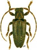 Estola basinotata, ♂, Desmiphorini, French Guiana