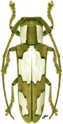 Adesmus divus, ♀, Hemilophini, Bolivia