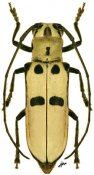 Adesmus hemispilus, ♀, Hemilophini, Santa Catarina
