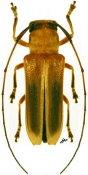 Adesmus nigriventris, ♀, Hemilophini, Guadeloupe