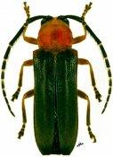 Isomerida albicollis, ♀, Hemilophini, French Guiana