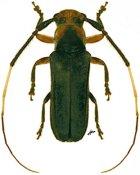 Sybaguasu thoracicum, ♀, Hemilophini, French Guiana