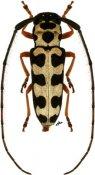 Zeale nigromaculata, ♀, Hemilophini, Paraguay