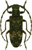 Docohammus benningseni benningseni, ♂, Lamiini, Ethiopia