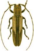 Cacostola leonensis, ♀, Onciderini, Hispaniola